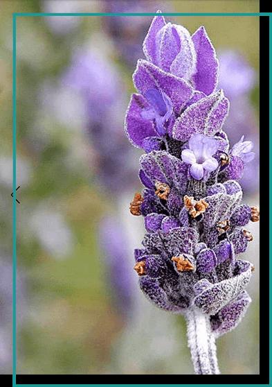 img-lavender
